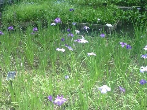 東高根森林公園の花菖蒲