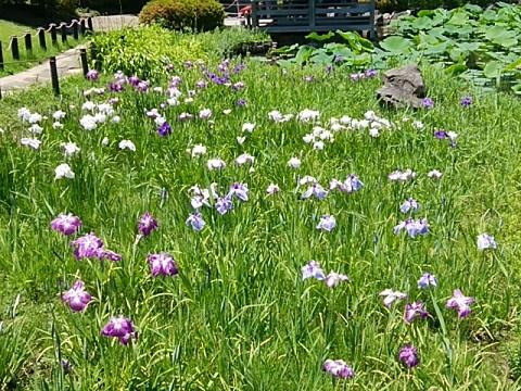 馬場花木園の花菖蒲