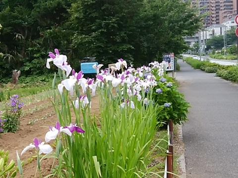 勝田町の畑の花菖蒲