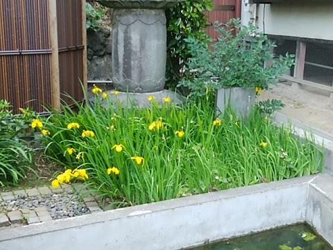 龍台寺の黄菖蒲