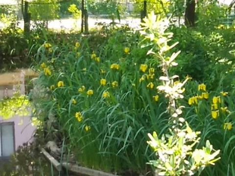 さいわいふるさと公園の黄色菖蒲