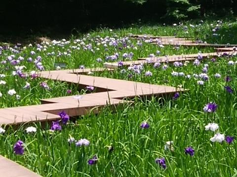 四季の森公園の花菖蒲