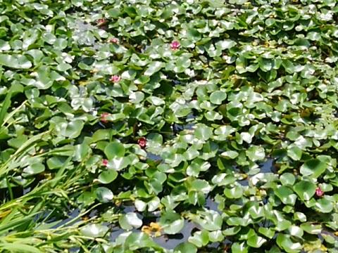 弁天池の睡蓮