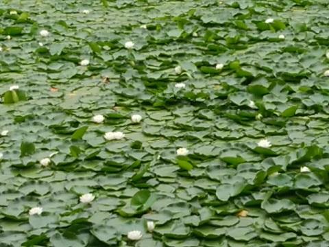 三ツ池公園の睡蓮