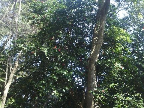 建功寺椿並木