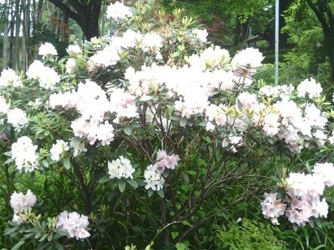 長善寺の石楠花