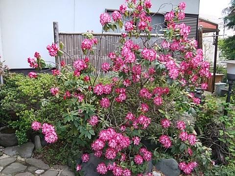延命寺の石楠花