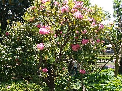 馬場花木園の石楠花
