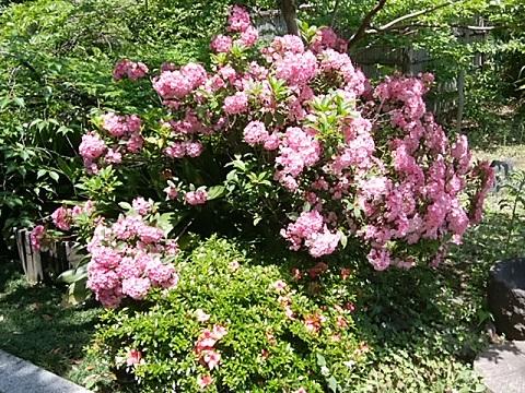 高願寺の石楠花
