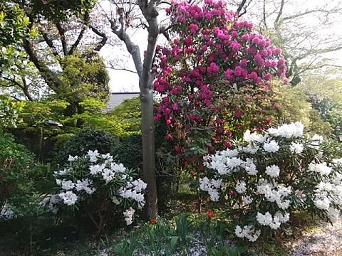 興禅寺の石楠花