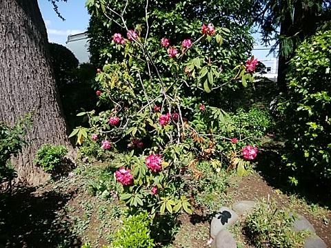 萬蔵寺の石楠花