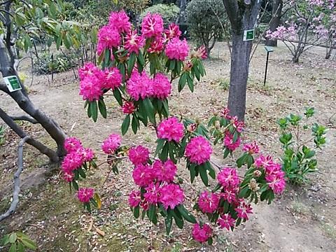 緑化センターの石楠花