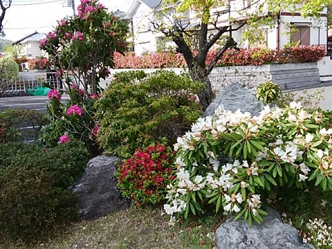 盛圓寺の石楠花