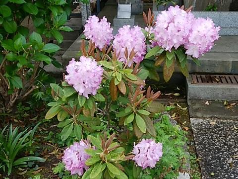 宗隆寺の石楠花