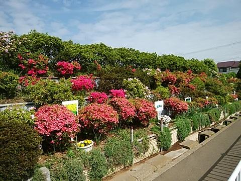 高田の丘のツツジ