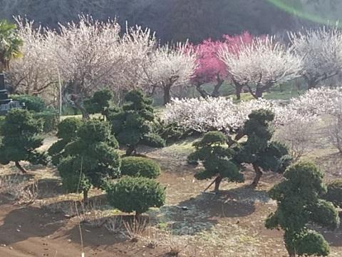 花桃の丘梅