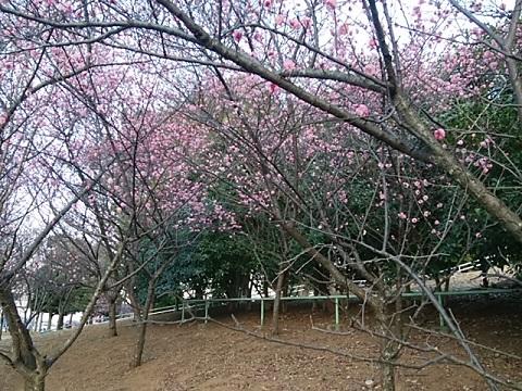 泉天ケ谷公園梅