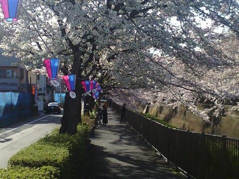 三沢川桜並木