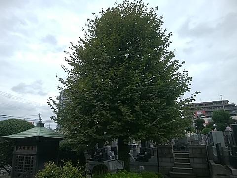 醫王寺菩提樹の木