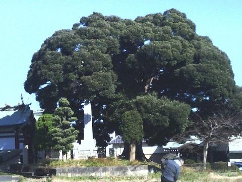 杉山神社シイノキ