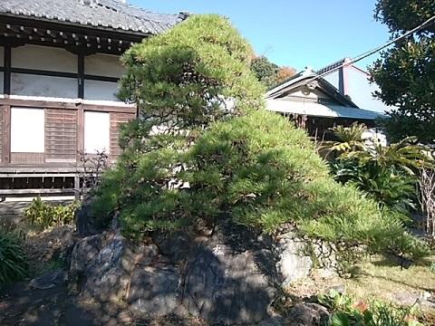 武蔵山遺愛の松