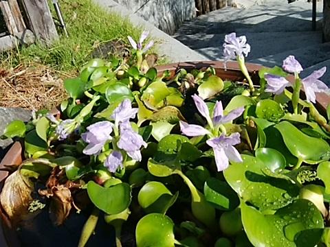 大蓮寺の布袋葵