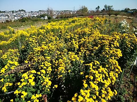 花桃の丘の菊畑