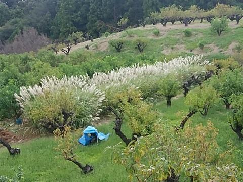 花桃の丘すすき