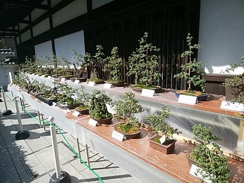 生田緑地小菊盆栽展