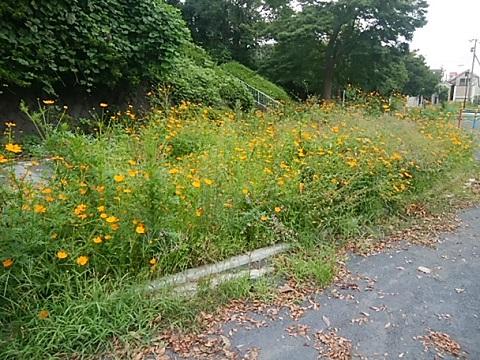 子安台公園の黄コスモス