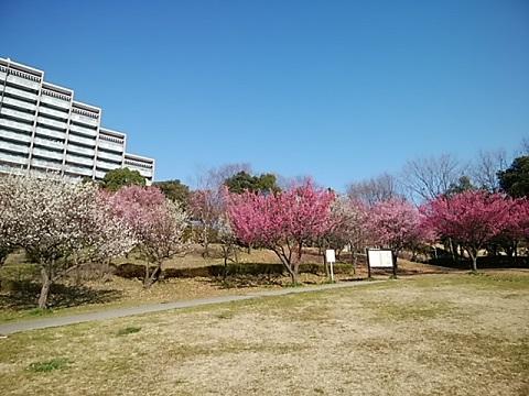 山田富士公園梅2020