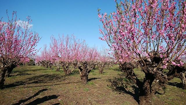 東有馬1丁目の桃畑