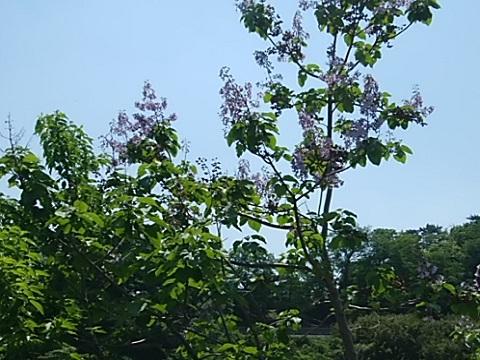 生田バラ園桐の花