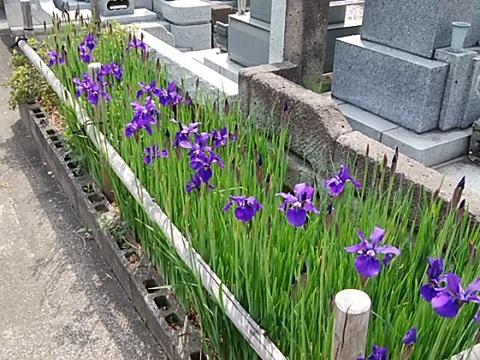 大蓮寺墓地の菖蒲