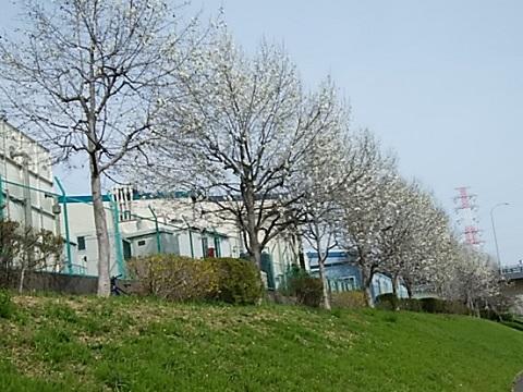 >江川せせらぎ緑道下流域のコブシ並木