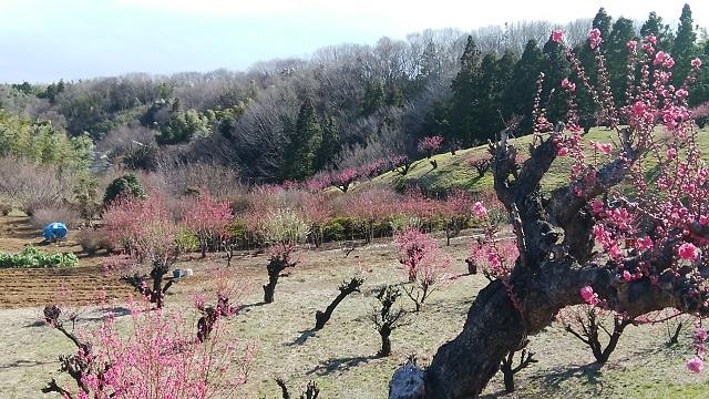花桃の丘桃