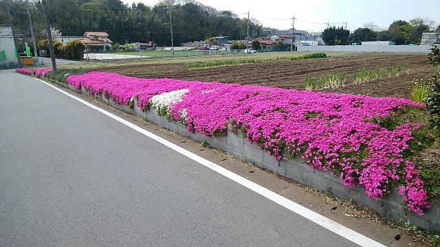 東方町の畑の芝桜
