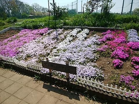 春日台公園の芝桜