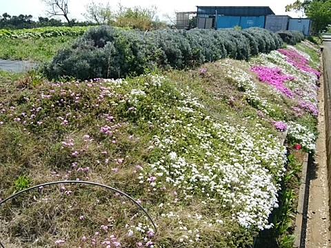 菅田羽沢農業専用地域の畑の芝桜