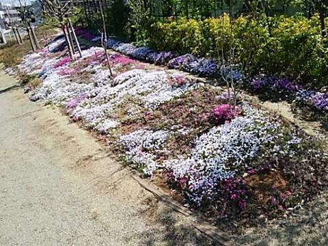 黒川よこみね緑地芝桜