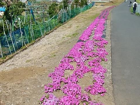 恩田川の土手芝桜
