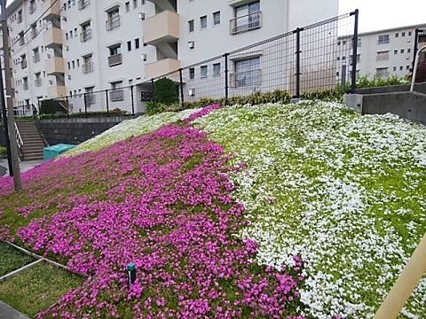 宮向団地の芝桜
