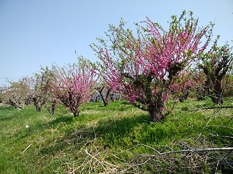 中川3丁目の桃畑