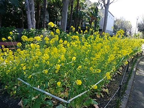 中丸子南緑道菜の花