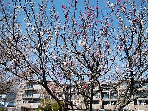 二ヶ領本川の桃