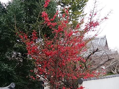 西蔵寺木瓜