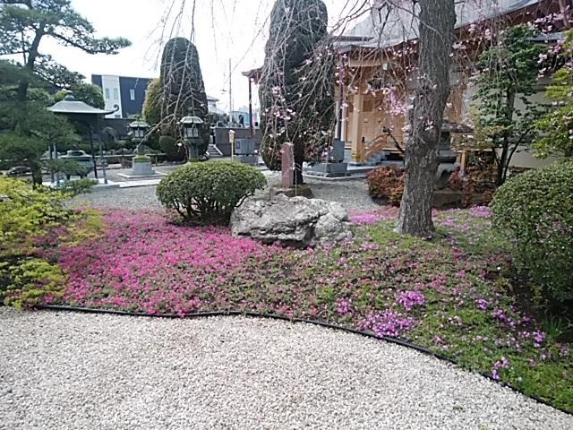 専称寺の芝桜