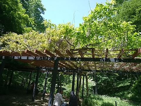 四季の森公園の藤