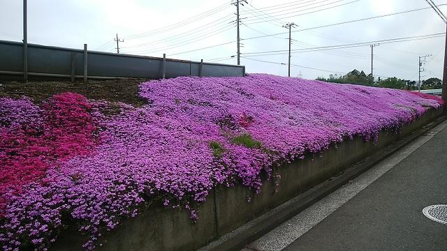 新吉田町の畑芝桜