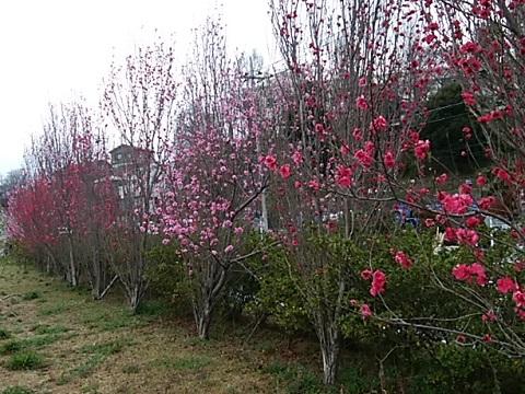 菅田農業専用地域畑の桃